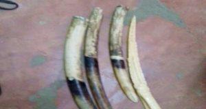 Les pointes d'ivoire