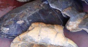 Les carapaces de tortue marine